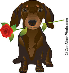 Vector illustration representing the puppy of the dachshund with a rose