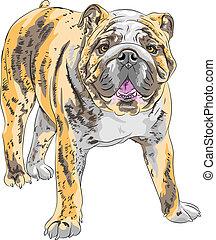vector sketch dog English Bulldog breed