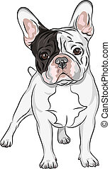 closeup portrait of the domestic dog French Bulldog breed on the white background