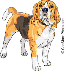 color sketch of the serious dog Beagle breed standing