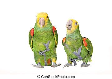 Two Venezuela Amazon parrot (Amazona amazonika) in front of a white background