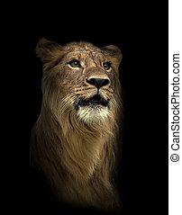 lion in the dark night