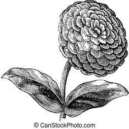 Zinnia or Zinnia elegans or Common zinnia or Youth-and-old-age, vintage engraving. Old engraved illustration of Zinnia isolated on a white background.